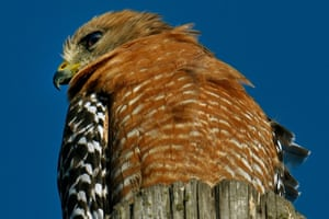 California, USA red-shouldered Hawk watches for prey. Their hunting range spans Eastern North America and along the coast of California and Northern to Northeastern-central Mexico.