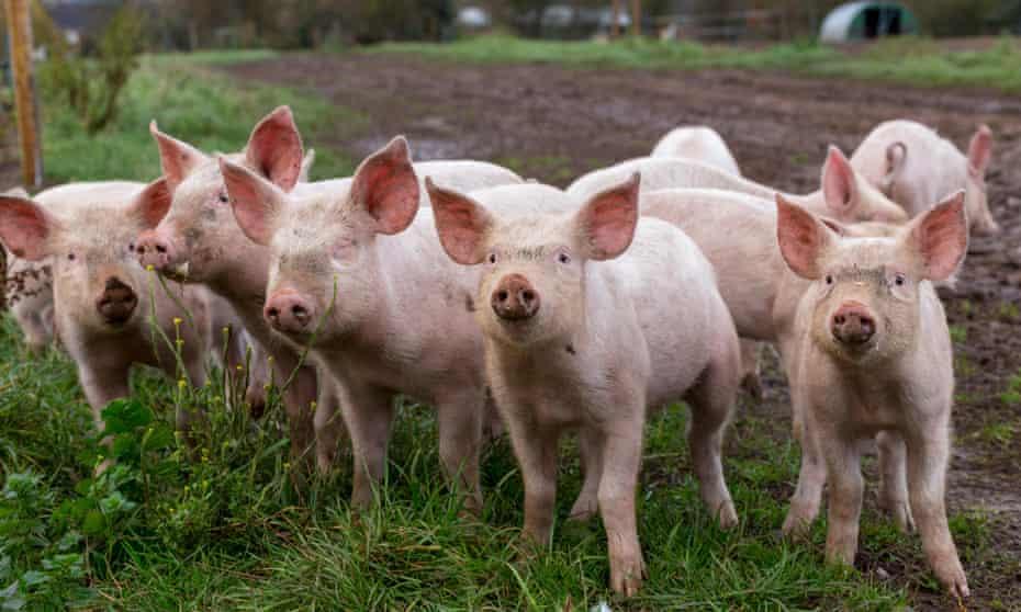 Pigs at Essington Farm, Wolverhampton.