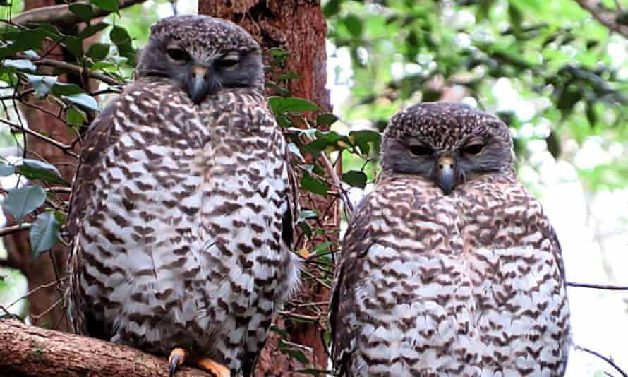 The powerful owls