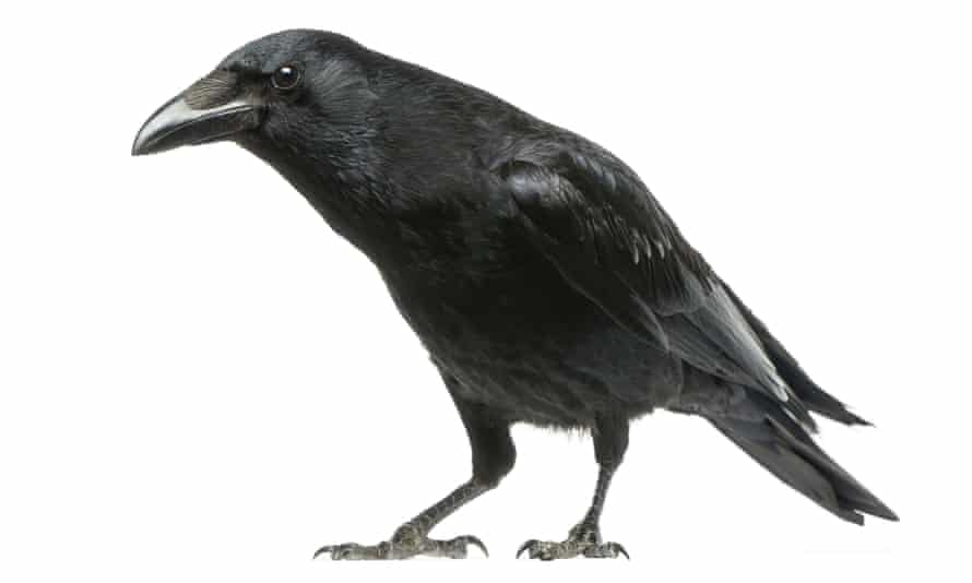 A carrion crow. Research shows crows may be as smart as apes.