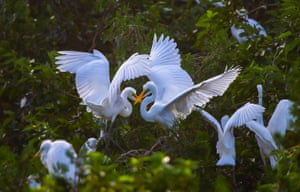 Egrets play in trees in Sihong county, China