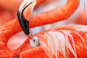 Beak to Beak by Claudio Contreras Koob (Mexico). A Caribbean flamingo chick is fed by its mother