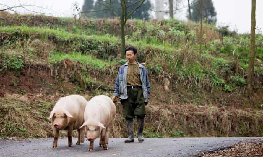 A farmer leads pigs to market near Chongqing, China.
