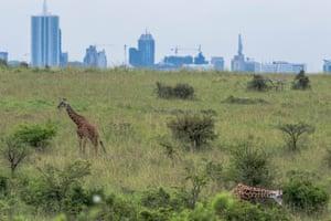 Giraffe grazing in the Nairobi national park.