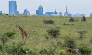 Giraffe grazing in Nairobi National Park, Kenya, with the city skyline in the background on 17 May 2015.
