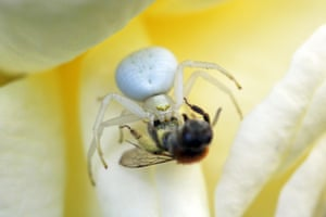 Country diary: when a crab spider executes plan bee
