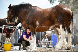A woman prepares a horse for the Royal Highland show in Scotland