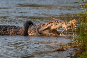 A crocodile swims with a motorcycle tyre stuck around its neck in the Palu river in Palu, Indonesia. According to media reports, the Indonesian Natural Resources Conservation Agency announced a reward for anyone who could rescue the animal. The tyre has been stuck around the crocodile's neck since the reptile was first spotted in September 2016