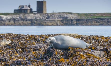 Seaweed-clad rocks create a resting spot for a grey seal in the Farne Islands