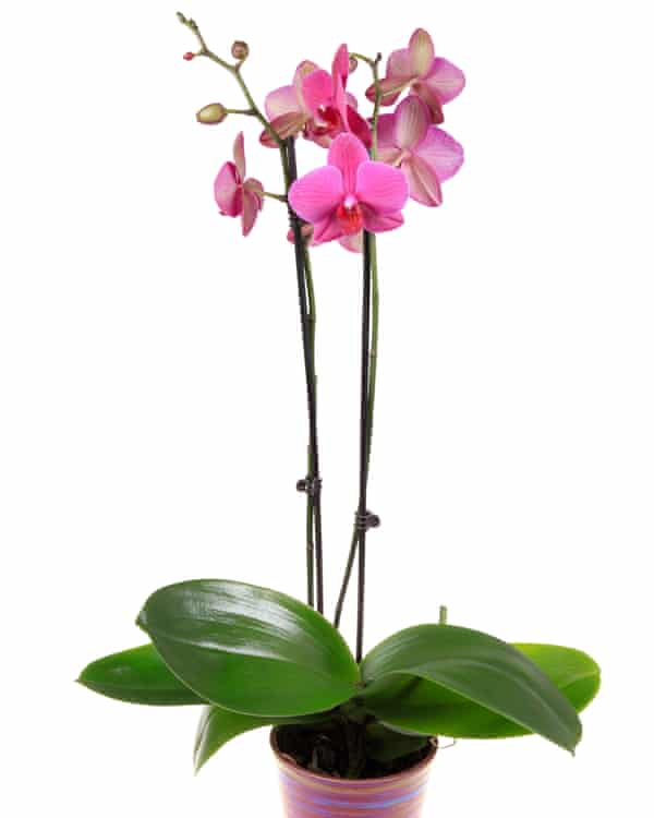 Pretty in pink: moth orchids.