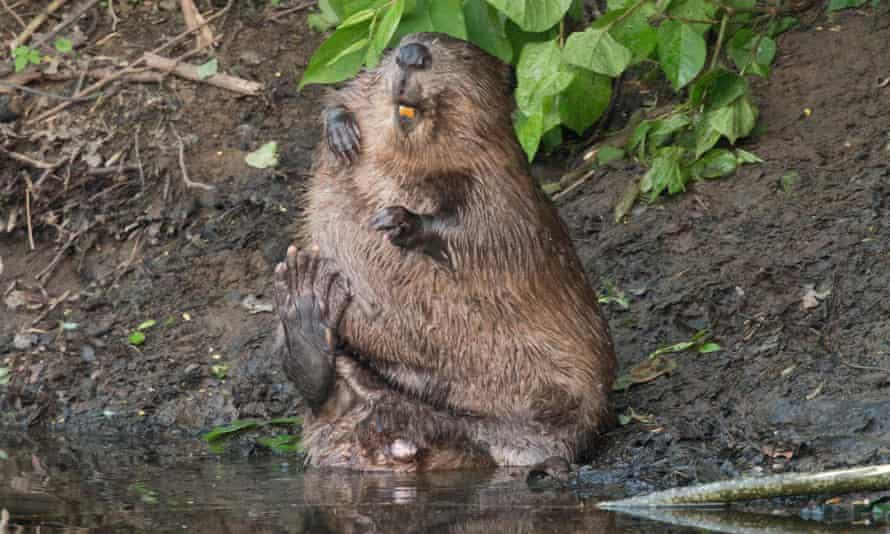 A European beaver on Tayside River in Scotland