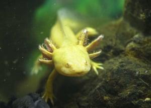 An amphibian kaiser salamander in the Poema del Mar aquarium in Las Palmas de Gran Canaria, Canary Islands
