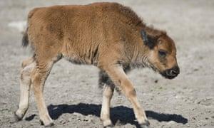 Bison calf interview Yellowstone
