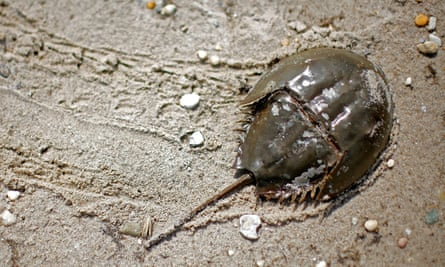 An Atlantic horseshoe crab on a beach