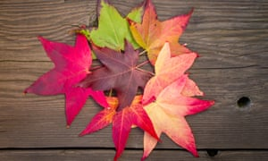 Legends of the fall: beautifully colourful Liquidambar leaves.