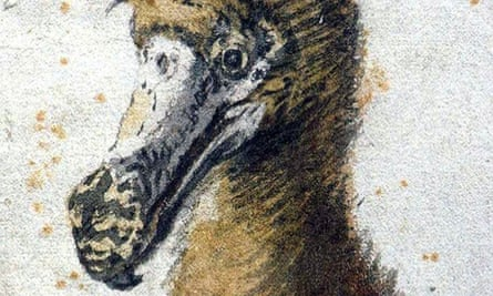 One of the only illustrations of a dodo done from a living animal. Drawn in 1638.