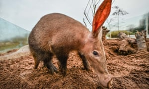 Like a pig crossed with a donkey … the aardvark.