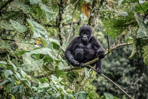 A young eastern lowland gorilla, or Gorilla berengei graueri, is seen at the Kahuzi-Biega national park in eastern DRC in January.
