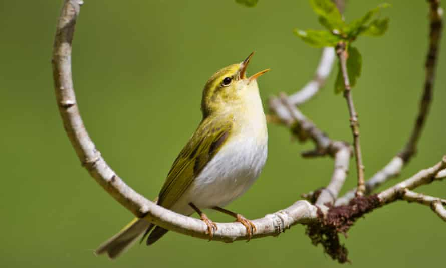 Birdsong, once commonplace in the countryside, has now become cause for excitement as numbers of many species, including wood warblers, decline.
