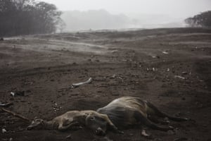 Escuintla, GuatemalaCows lie dead amid steam rising from the hot volcanic ash following a rain shower near the Fuego volcano in the El Rodeo hamlet.