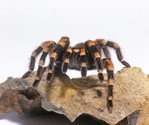 Mexican red-knee tarantula (Brachypelma smithi)