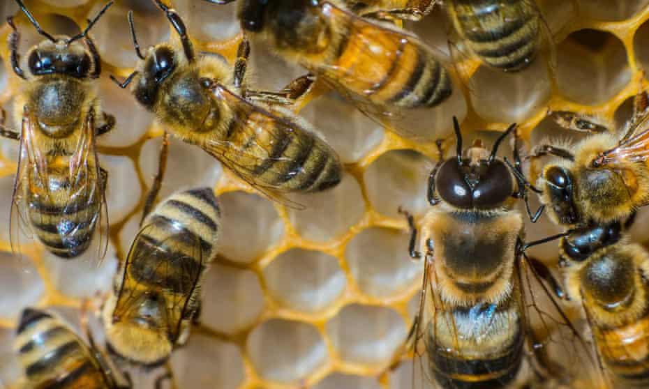 Honey bees in a honeycomb, Fredericksburg, Virginia.