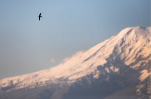 A common swift flying over a snow-capped Mount Ararat in Armenia