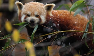 Red panda in the snow at Bristol Zoo Gardens