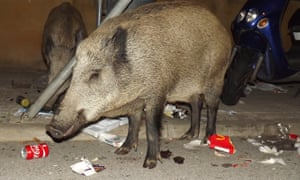 wild boars in urban spaces in Spain