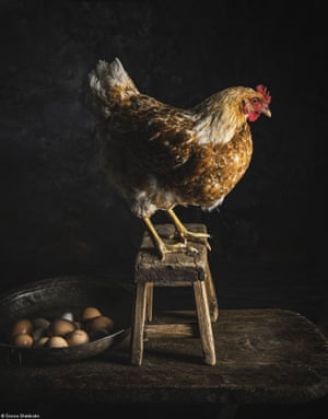 A hen and some  eggs