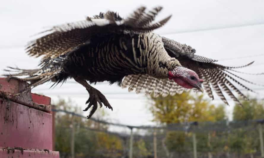 A certified organic heritage breed Narragansett turkey flies from a perch.