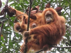 A female Tapanuli orangutan with her two infants, sighted by conservation staff in Batang Toru forest, North Sumatra, Indonesia