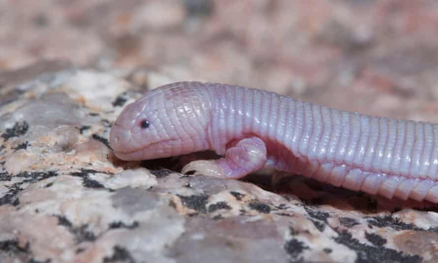 Bipes biporus, one of the only worm-lizards with legs.