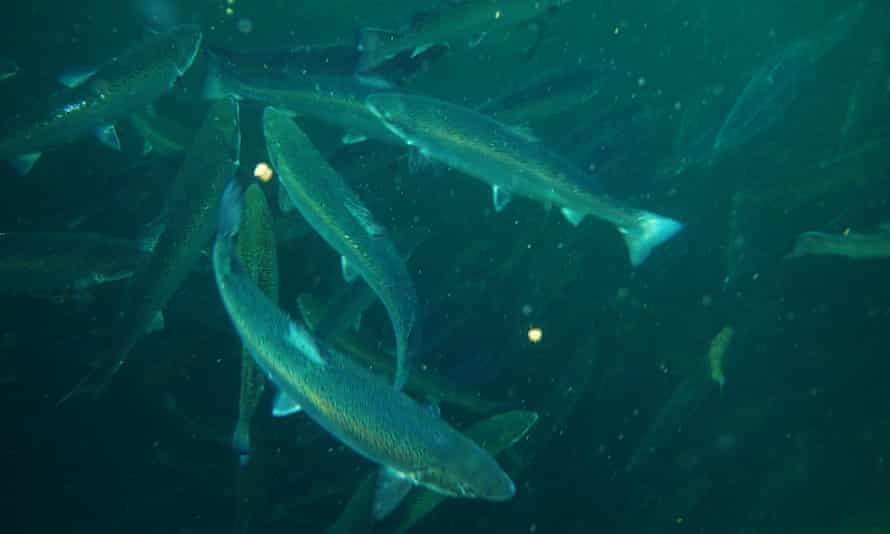 Farmed salmon in a cage in Scotland