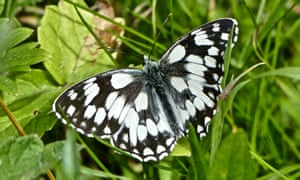 A marbled white butterfly perches on a leaf.