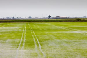 Rice growing in paddy fields in the Coto Doñana, one of the most important wetland wildlife sites in Europe