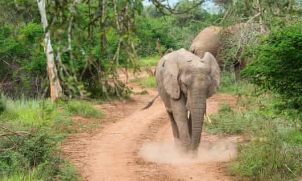 An elephant in Rwanda