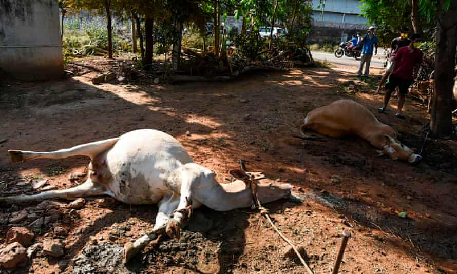Dead cows following a gas leak incident from an LG Polymers plant in Visakhapatnam.