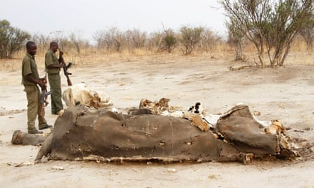 Early victim: one of the more than 100 elephants poisoned in Hwange National Park in September 2013.