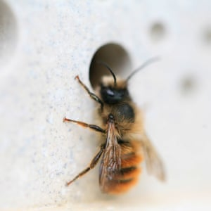 'Photo taken in early Summer 2017 of a red mason bee in the process of nesting outside our Perranporth studio.'