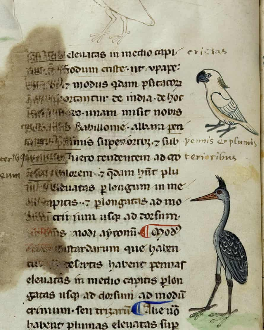 There are four drawings of an Australasian cockatoo in the 13th century Sicilian manuscript