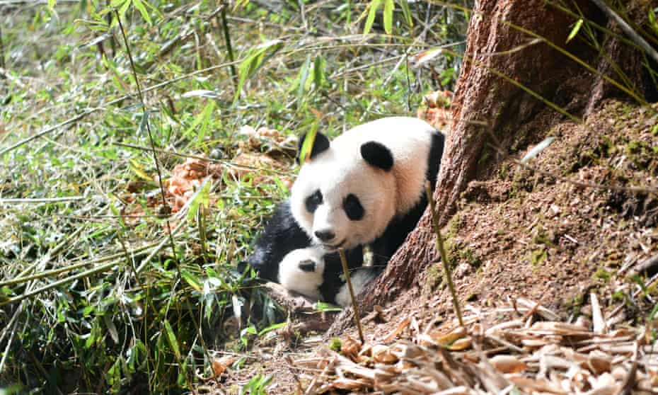 A panda mother and cub in Wolong nature reserve in China