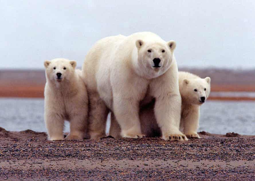 A polar bear keeping close to her young along the Beaufort Sea coast in the Arctic National Wildlife Refuge in Alaska.