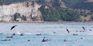 Dusky dolphins leap from the water just off Kaikoura, South Island, New Zealand.