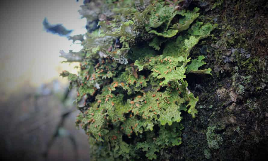 The presence or absence of certain lichen species can be used to indicate the health of the ecosystem in which they are found.
