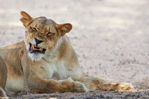 A Kalahari lioness bites at African bees at Craig Lockhart waterhole, Kgalagadi Transfrontier Park in South Africa