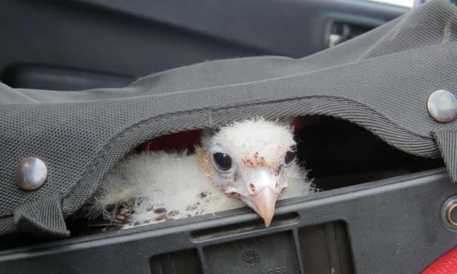 An albino peregrine falcon chick is transported to San Gregorio, Patagonia, Chile. Four albino peregrine falcon eggs were seized São Paulo airport in Brazil in October 2015.