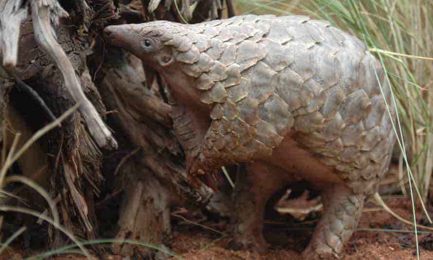 A pangolin, the scaly mammal thought to be a possible intermediate host for the coronavirus.