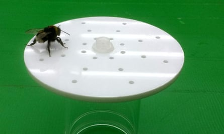 A bumblebee walks across the surface of an artificial flower, working out the pattern of scent that has been made by placing peppermint oil in some of the holes.