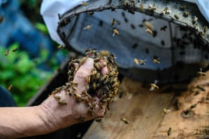 Hong Kong, China: Yip Ki-hok, a 62-year-old beekeeper, pulls out handfuls of bees from a drawstring bag before placing them into a Langstroth hive at his apiary in Hong Kong. He removed their honey-filled nest from a hillside using his bare hands